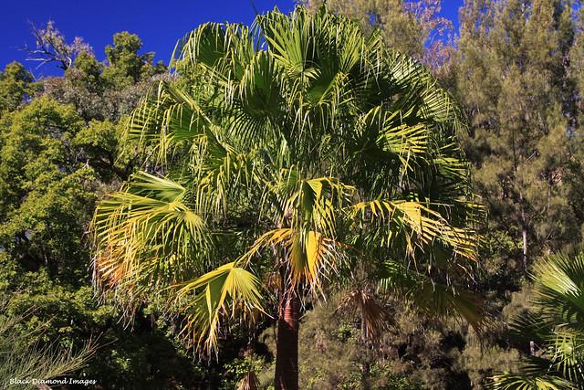 Livistona nitida - Carnarvon Fan Palm