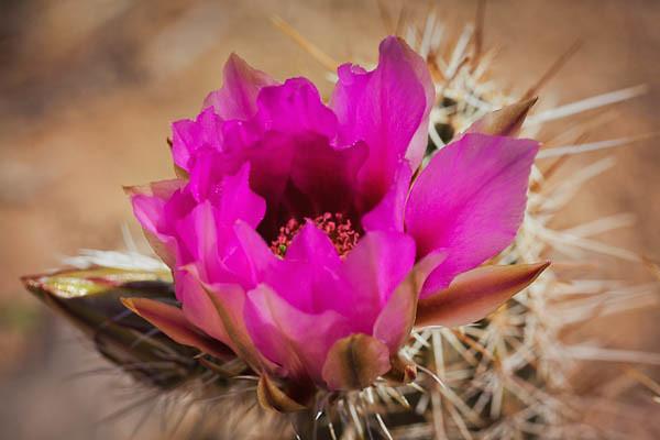 Hedgehog Cactus Blossom