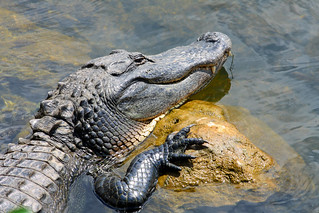 Alligator (Everglades)