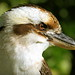 Portrait of a Kookaburra by Tainia Finlay Photography