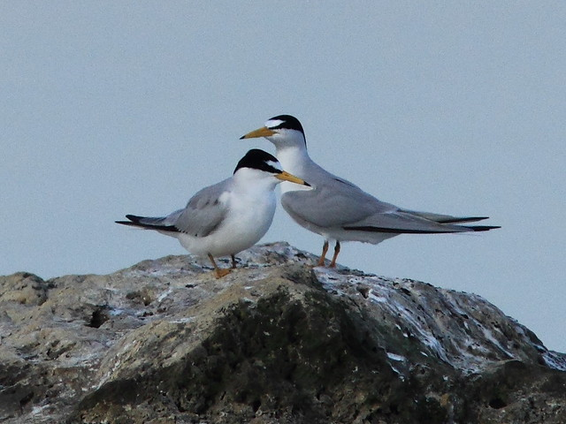 Least Tern courtship 6-20120419