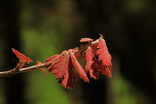 new white oak leaves...