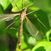 Female Green-eyed Crane Fly