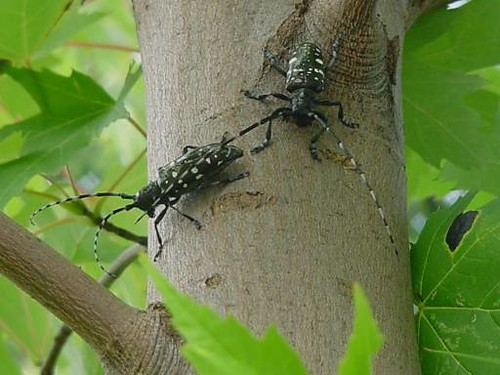 Two Asian longhorned beetle adults on a tree