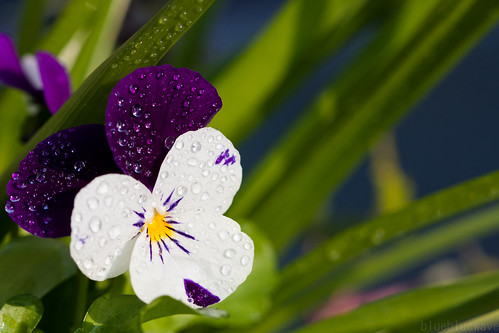 Viola after the rain