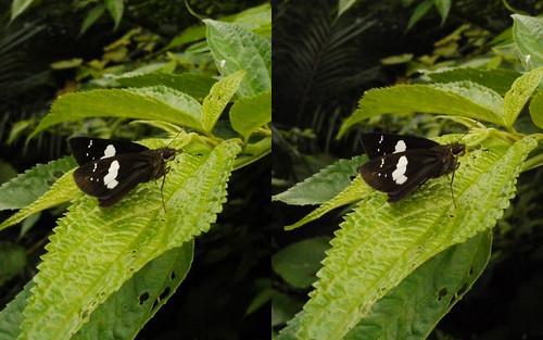 Notocrypta curvifascia, stereo parallel view