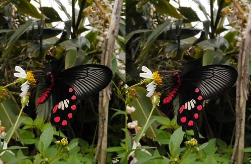 Pachiliopta aristrochiae, stereo parallel view