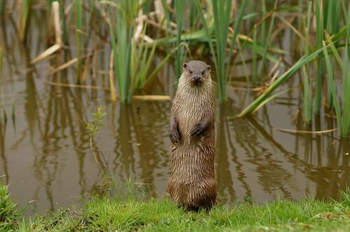[フリー画像素材] 動物 1, 哺乳類, カワウソ, 動物 - 立つ・立ち上がる ID:201205141600