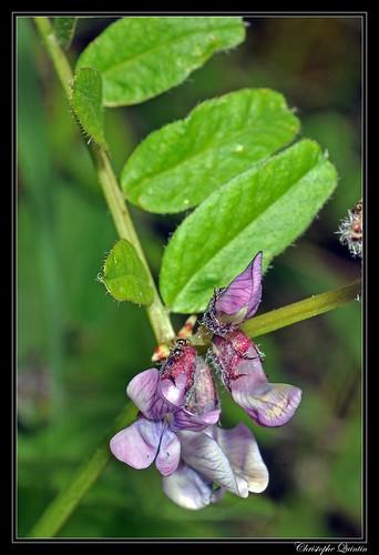 Vesce des haies (Vicia sepium)