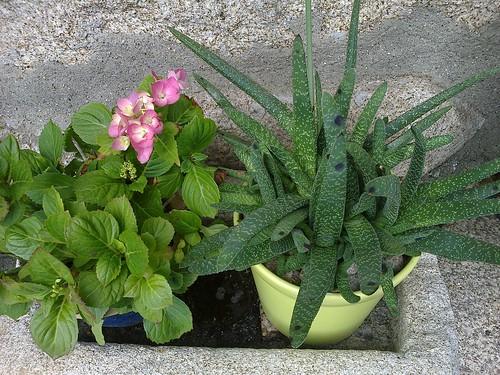 Hydrangea (hortensia) y Gasteria bicolor