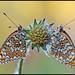 Melithaea phoebe