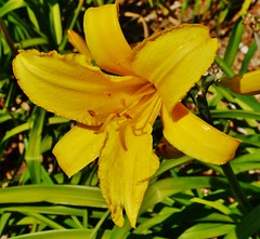 61112-184, Yellow Lily