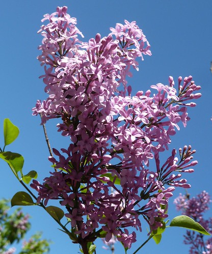 flowers plant nature blossoms lavender blooms bushes lilacs lilaciapark lombardil anawesomeshot