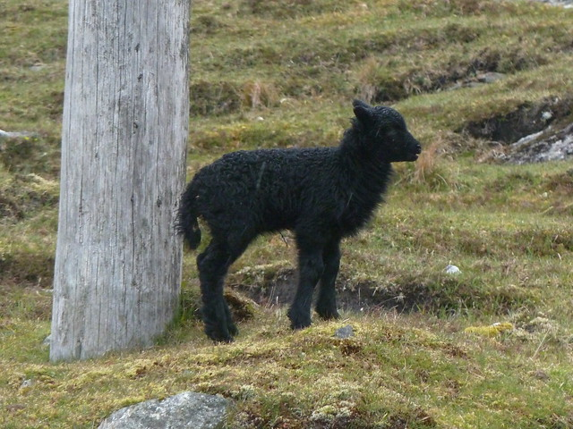 Black Lamb, Harris