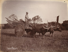 Village buffalo cart