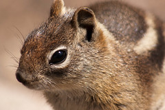 animal(1.0), squirrel(1.0), fox squirrel(1.0), rodent(1.0), pet(1.0), snout(1.0), fauna(1.0), close-up(1.0), chipmunk(1.0), degu(1.0), whiskers(1.0), gerbil(1.0), wildlife(1.0),