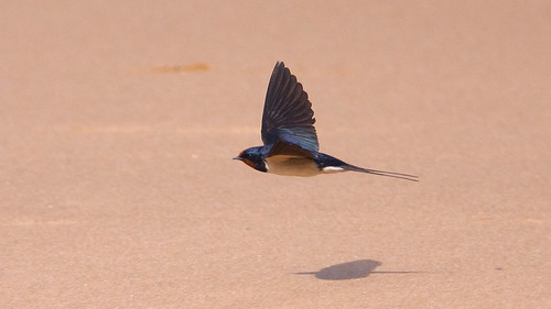 Low-flying Swallow