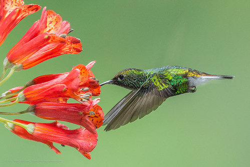 Coppery-headed Emerald, Male (Elvira cupreiceps)