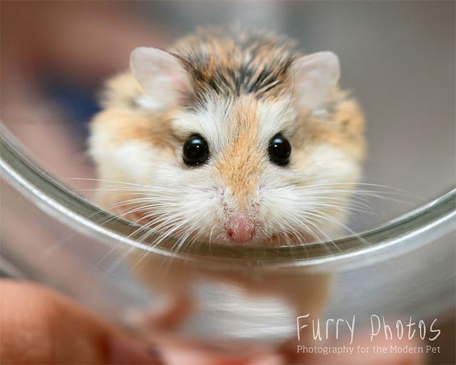 Hamsters With Big Eyes in Boots Big Eye Look
