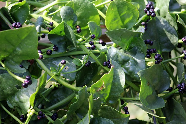 alugbati basella rubra organic tea Common name: spinach - ceylon scientific name: basella rubra 5l bags r 4800 seed pricing latest pricelists  an infusion of the leaves is used as tea parts.