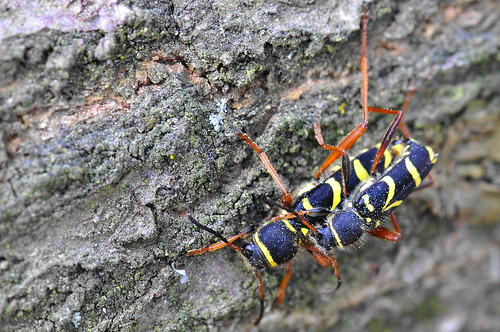 Clytus arietus - Wasp Beetle  agrilus.blogspot.co.uk by Lamia textor