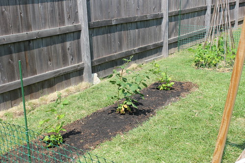 20120520. We have blackberry bushes!