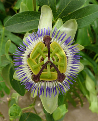giant granadilla(0.0), produce(0.0), flower(1.0), purple passionflower(1.0), plant(1.0), flora(1.0), passion fruit(1.0),