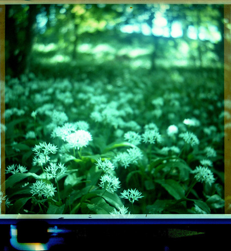 wild garlic by pho-Tony