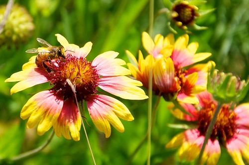 Bee on Indian Blanket blooms 2