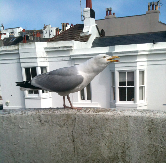 greedy_gull