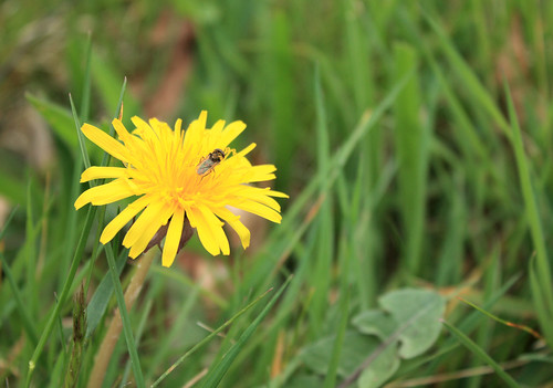 "Dandelion in the ""lawn"""