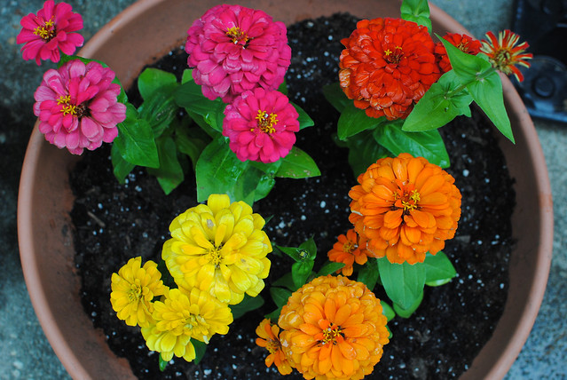 [117/365] Pot of Zinnias