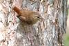 Troglodyte des forêts / Winter Wren