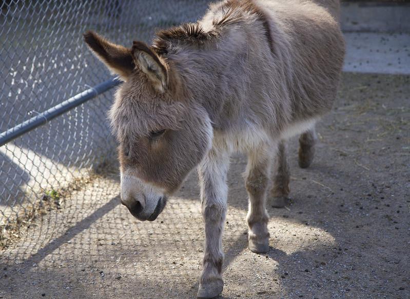 Sicillian Donkey