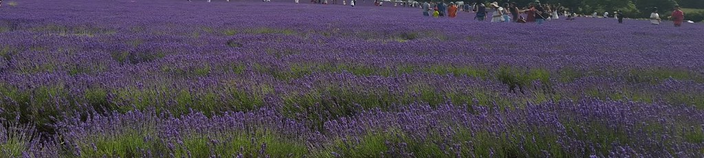 lavender Mayfield Lavender Farm - the lavender fields in full bloom, with many sightseers, on a sunny Saturday afternoon in July