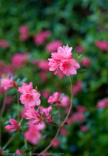 pink flowers azaleas nikond700