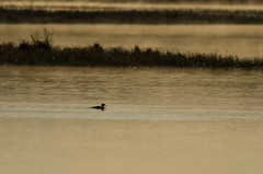 Merganser Sunrise-2688.jpg by Mully410 * Images