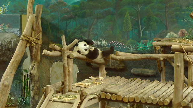 Ling Bing - The Youngest Panda in Chiang Mai Zoo