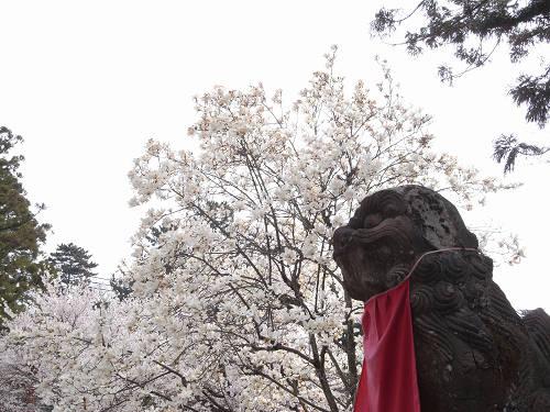 「奈良の一番桜」の見事なしだれ桜『氷室神社』@奈良市