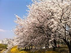 어제의 벚꽃. 화창하고 화사하고 화려하다.