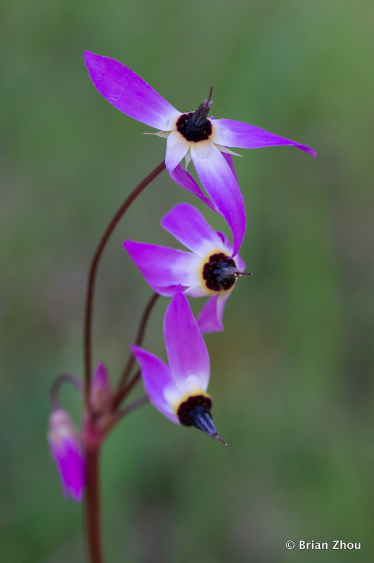 Wildflower - Shooting Star