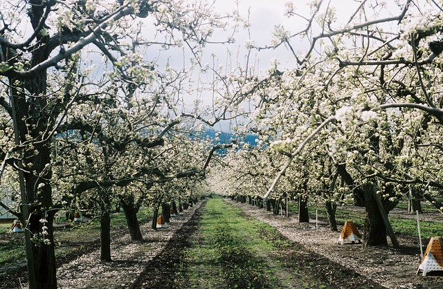apple trees organized neatly.