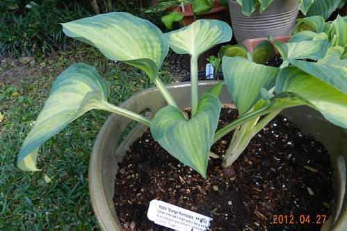 Hosta 'Orange Marmalade'