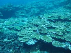 綠島珊瑚礁覆蓋率皆屬「優良」程度,但指標性魚類及無脊椎動物種類及 數量都非常稀少