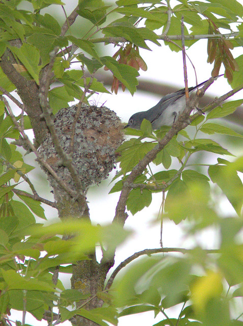Blue-gray Gnatcatcher at nest 2-20120501