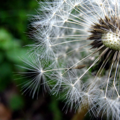 [フリー画像素材] 花・植物, タンポポ, 種子 ID:201205060600