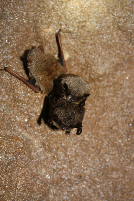 White-Nose Bat Deaths: Fungus Behind Mysterious Deaths In U.S. And Canada Came From Europe
