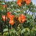Bignoniaceae - Photo (c) mauroguanandi, algunos derechos reservados (CC BY)