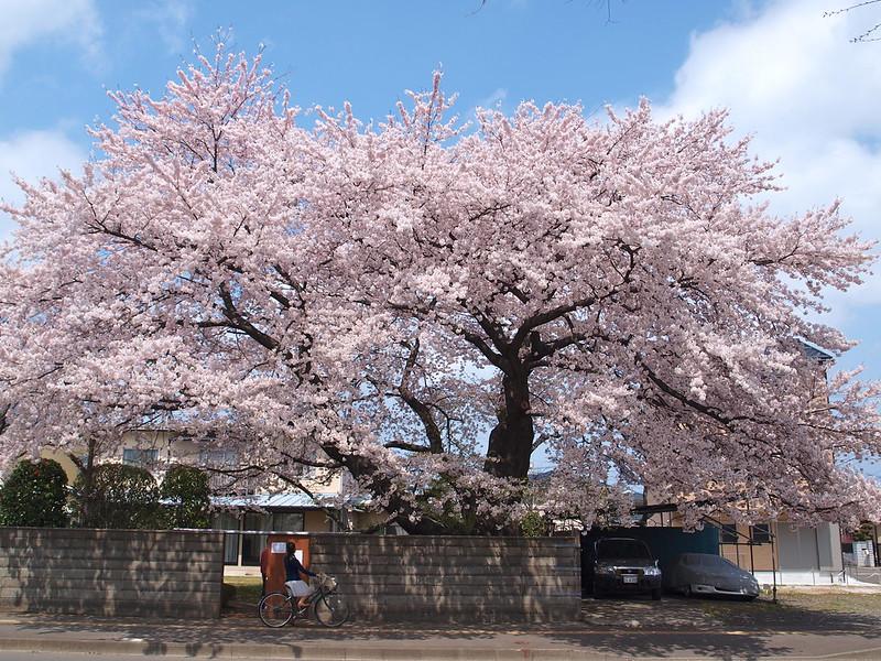 銀杏町の桜