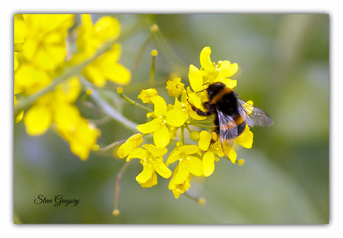 bumble by Steve_Gregory